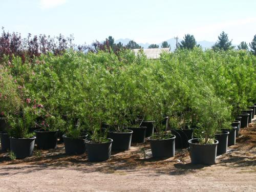 Trees Sunland Nursery Xeric Nursery Plants